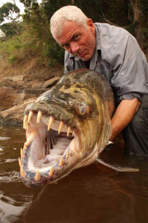 Тигровая рыба Голиаф по кровожадности чуть-чуть уступает пиранье.